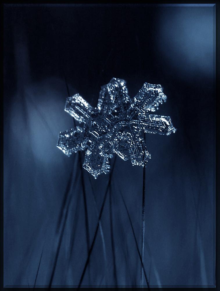 """фото """"Зимние ромашки"""" метки: макро и крупный план,"""