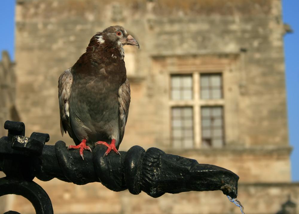 """фото """"Я не голубь, я орёл!"""" метки: природа, путешествия, Европа, домашние животные"""