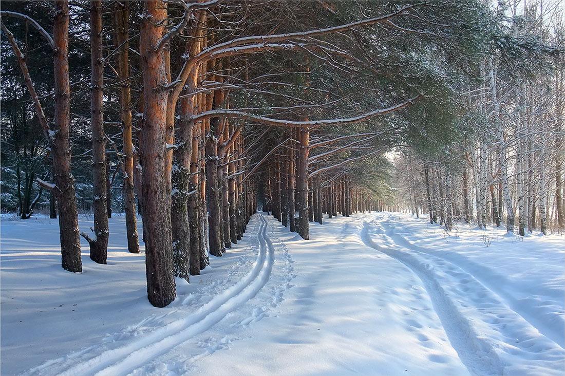 """фото """"""""У берез и сосен..."""""""" метки: пейзаж, зима, лес"""