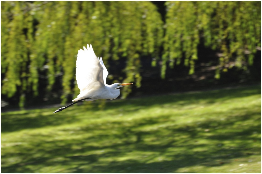 """фото """"Большая белая цапля"""" метки: природа, дикие животные"""