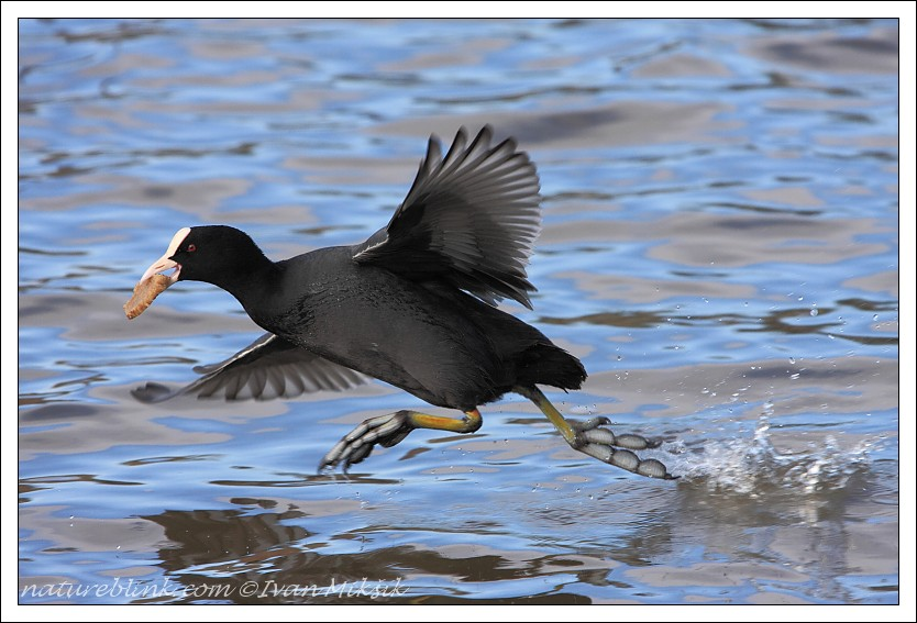 "photo ""Coot"" tags: nature, wild animals"