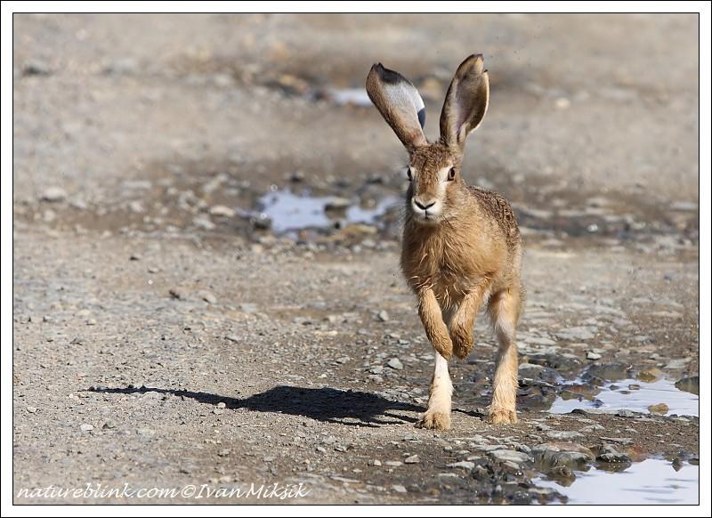 "photo ""Hare"" tags: nature, wild animals"