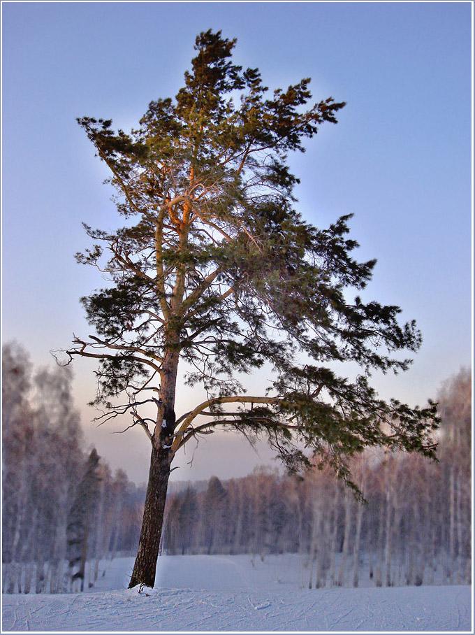 "фото ""Сосна."" метки: пейзаж, зима, лес"