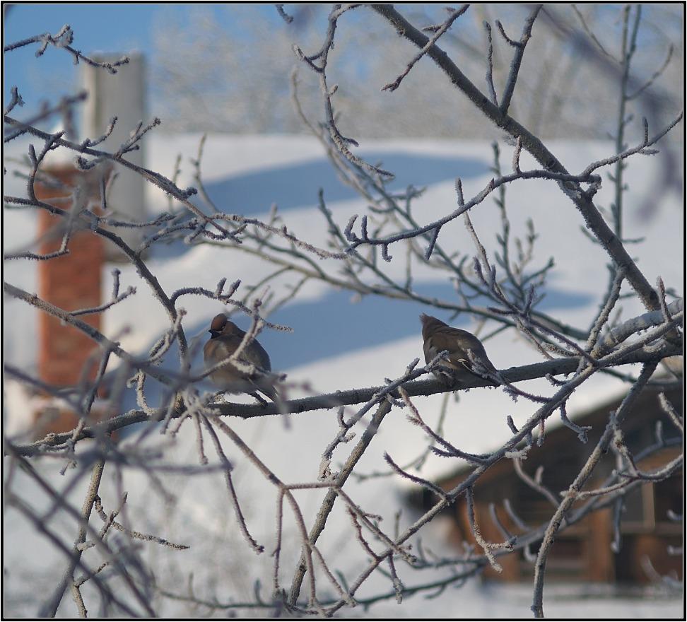 "фото ""Свиристели"" метки: пейзаж, природа, дикие животные, зима"