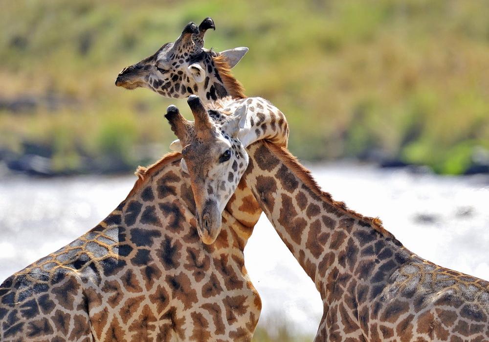 агератума невероятные фотографии животного мира его