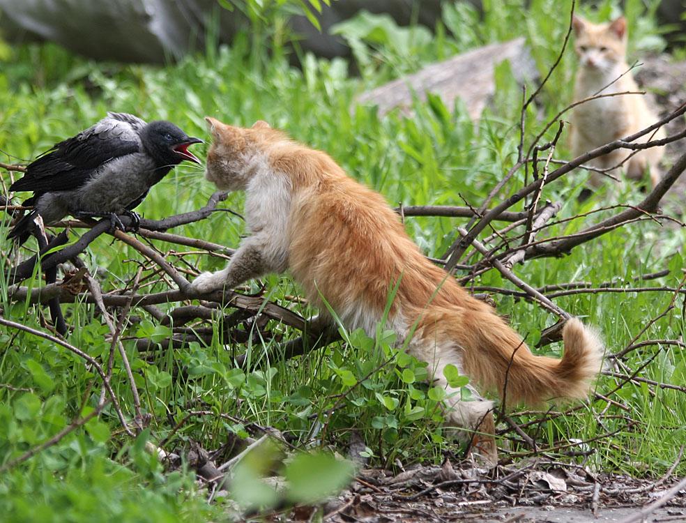 ворона и кот фото без вести