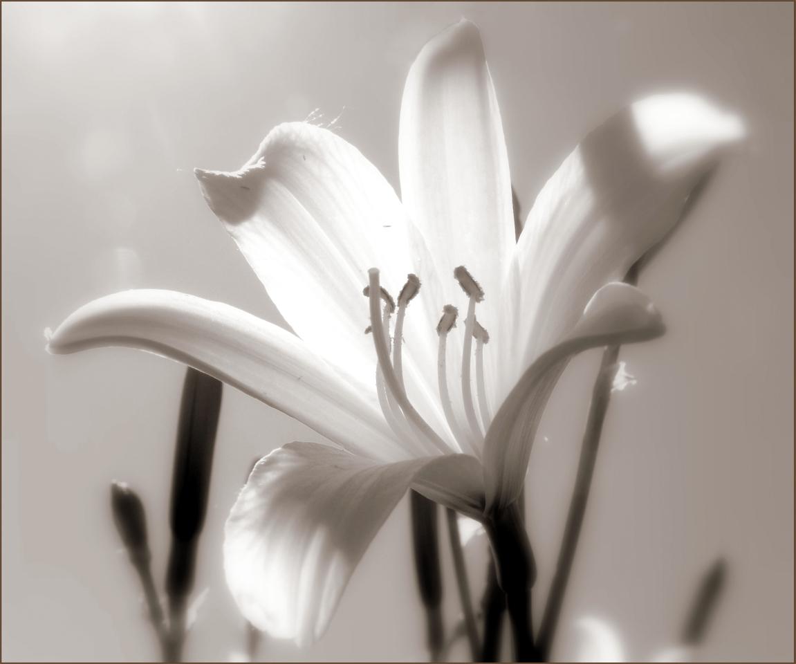 Картинки черно-белые цветы лилии, тебя