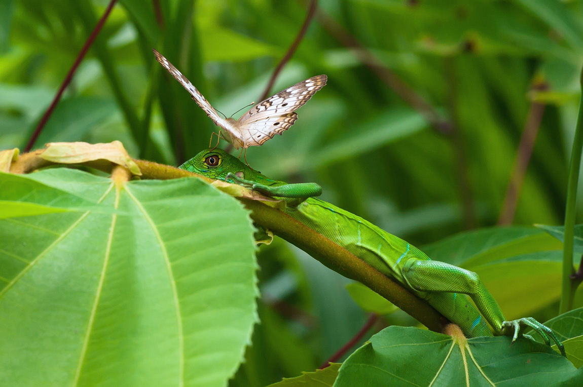 """фото """"Бабочка и игуана"""" метки: природа, путешествия, дикие животные"""