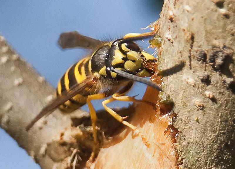 "photo ""Bark stripping yellowjacket"" tags: nature, macro and close-up, insect"