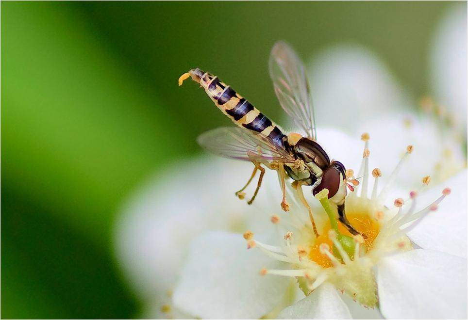 """фото """"Вкусняшко"""" метки: макро и крупный план, природа, насекомое"""