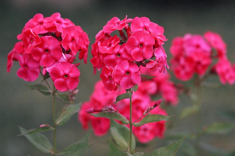 """фото """"Флоксы"""" метки: природа, цветы"""