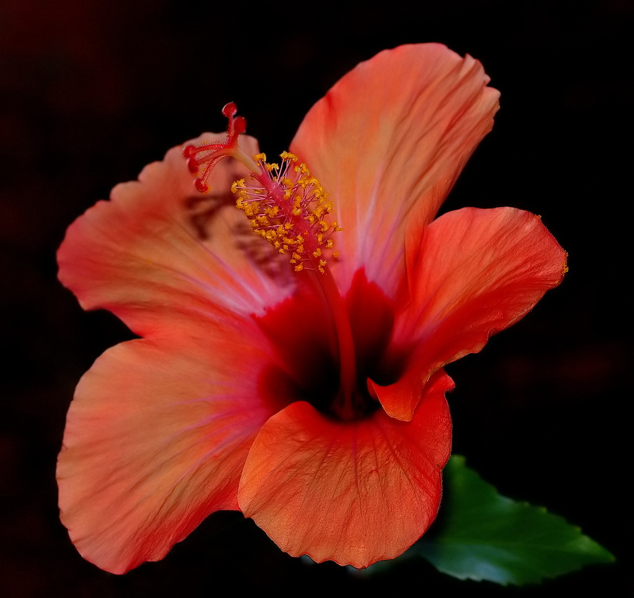 """photo """"""""Another Color of another Hibiscus..."""""""" tags: nature, flowers"""