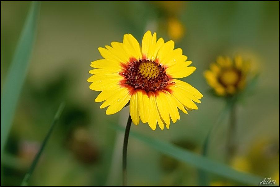 """фото """"Поцелуй росинки"""" метки: природа, цветы"""