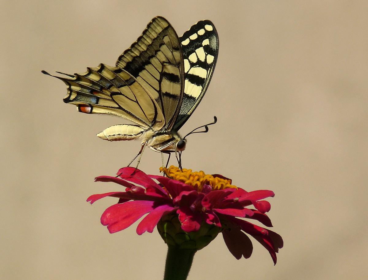 """фото """"Papilio machaon"""" метки: природа, макро и крупный план,"""