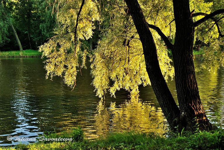 """фото """"Золотистый свет в ветвях ивы"""" метки: пейзаж,"""