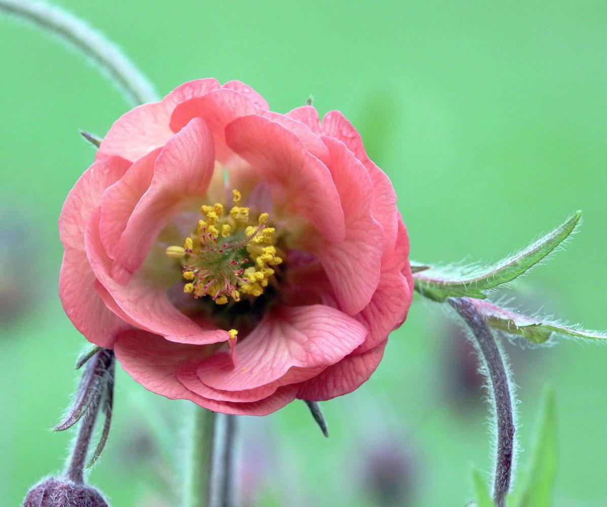 """фото """"GEUM FLOWER"""" метки: природа, цветы"""