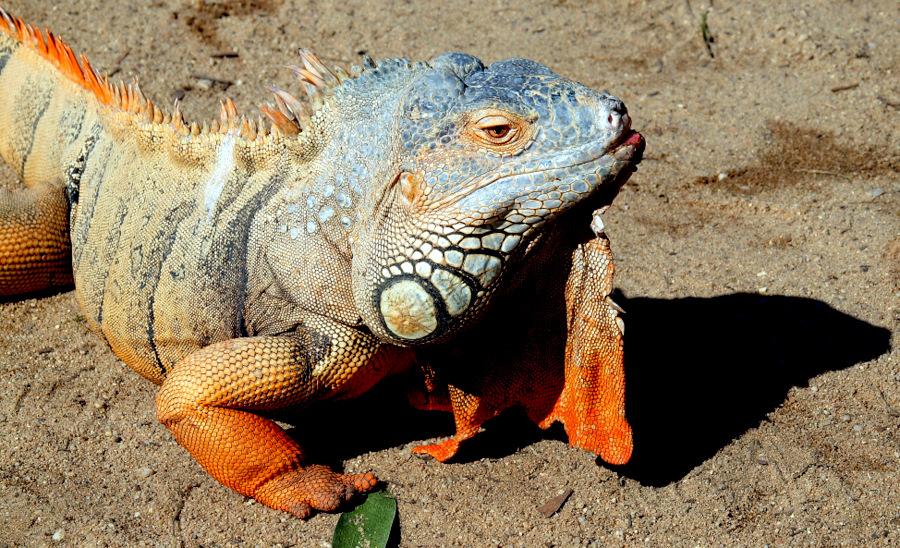 """фото """"""""Iguana..."""""""" метки: природа, дикие животные, домашние животные"""
