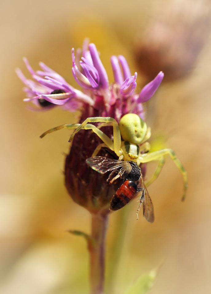 """фото """"Вот и завтрак подлетел"""" метки: макро и крупный план, природа, насекомое"""