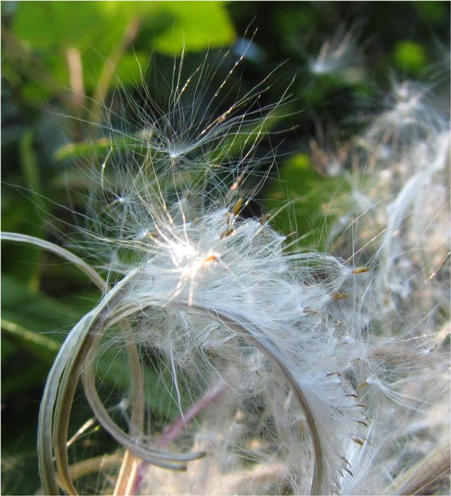 """фото """"Попутного ветра!"""" метки: природа, макро и крупный план, цветы"""