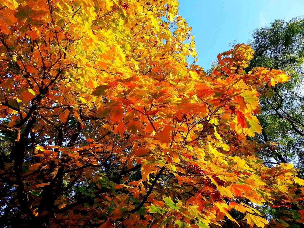 """фото """"Осенний клен"""" метки: пейзаж, лес, осень"""