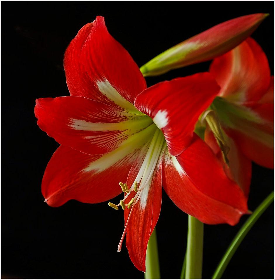 Цветы козерога