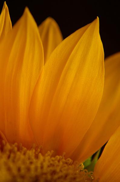 """фото """"Sun"""" метки: природа, цветы"""