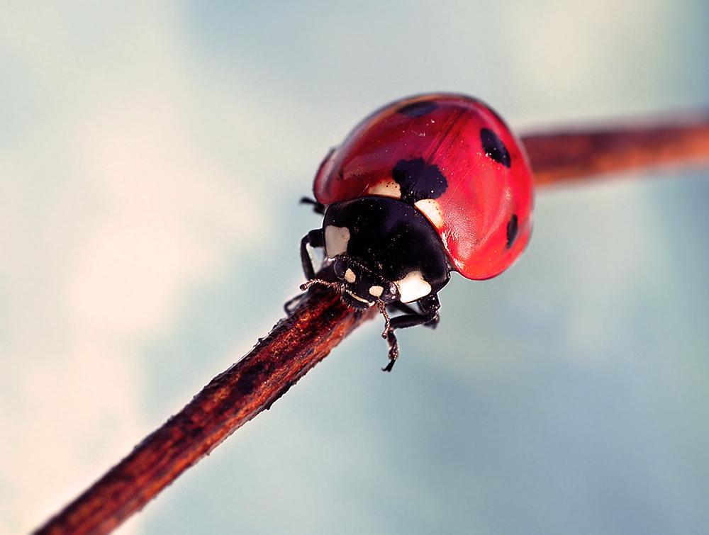 """фото """"Небесное создание"""" метки: макро и крупный план, природа, насекомое"""