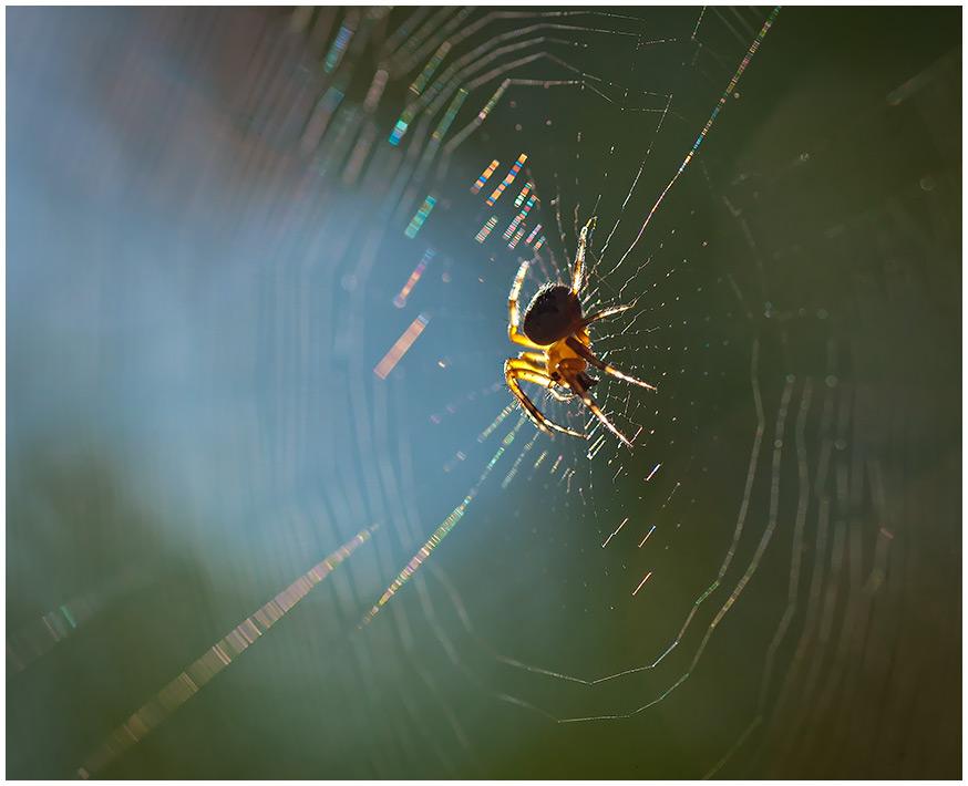 """фото """"Сплетающий радужки"""" метки: природа, насекомое"""