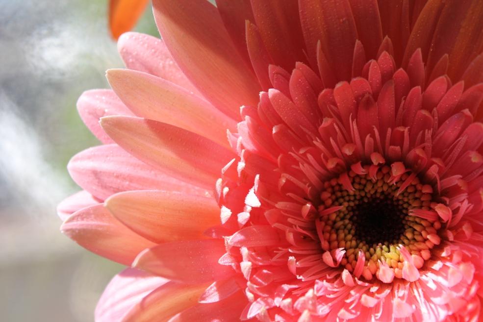 """фото """"Gerbera under the sun"""" метки: природа, цветы"""