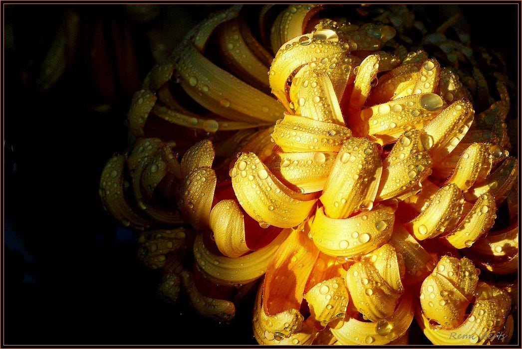 """фото """"golden flower"""" метки: природа, натюрморт, цветы"""