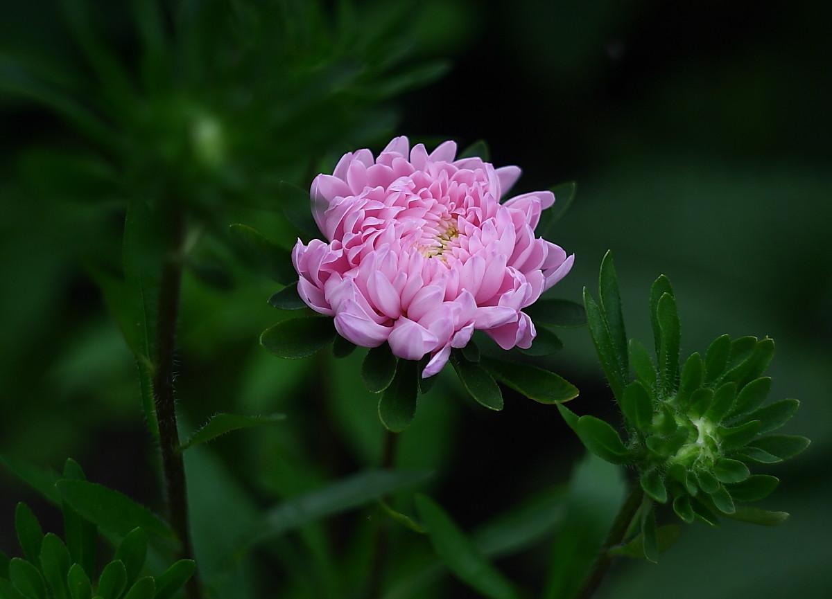 """фото """"Астры"""" метки: природа, цветы"""