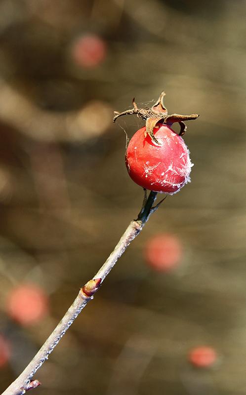 """фото """"мороженое"""" метки: природа, макро и крупный план, цветы"""