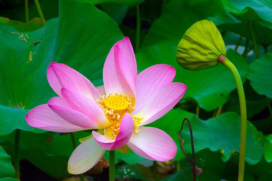 """фото """"Face to face"""" метки: природа, макро и крупный план, lotus, озеро, цветы"""