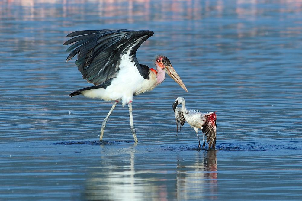 """фото """"Охота марабу"""" метки: природа, дикие животные"""