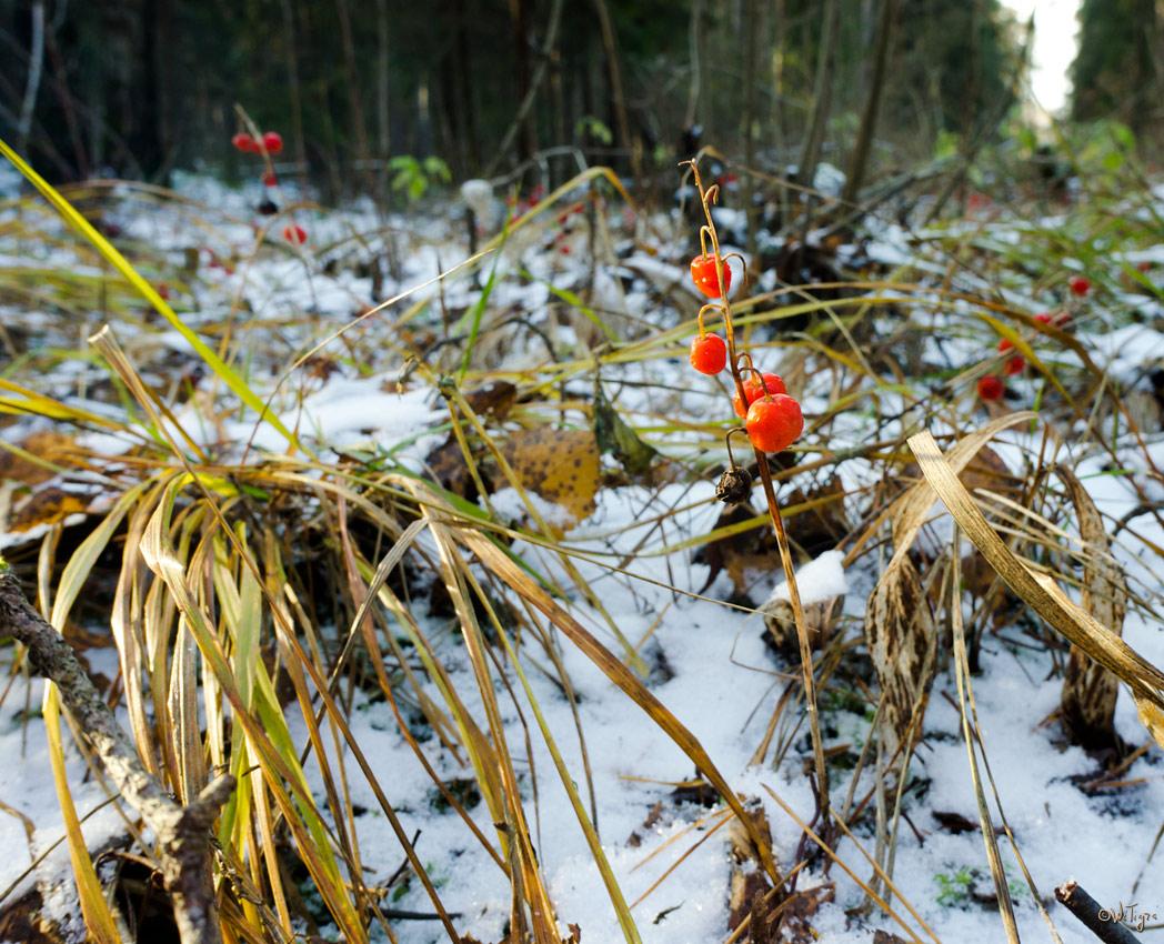 """фото """"Ландыш в снегу"""" метки: природа, макро и крупный план, цветы"""