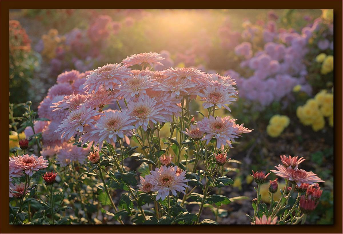 """фото """"В закатном свете."""" метки: природа, цветы"""