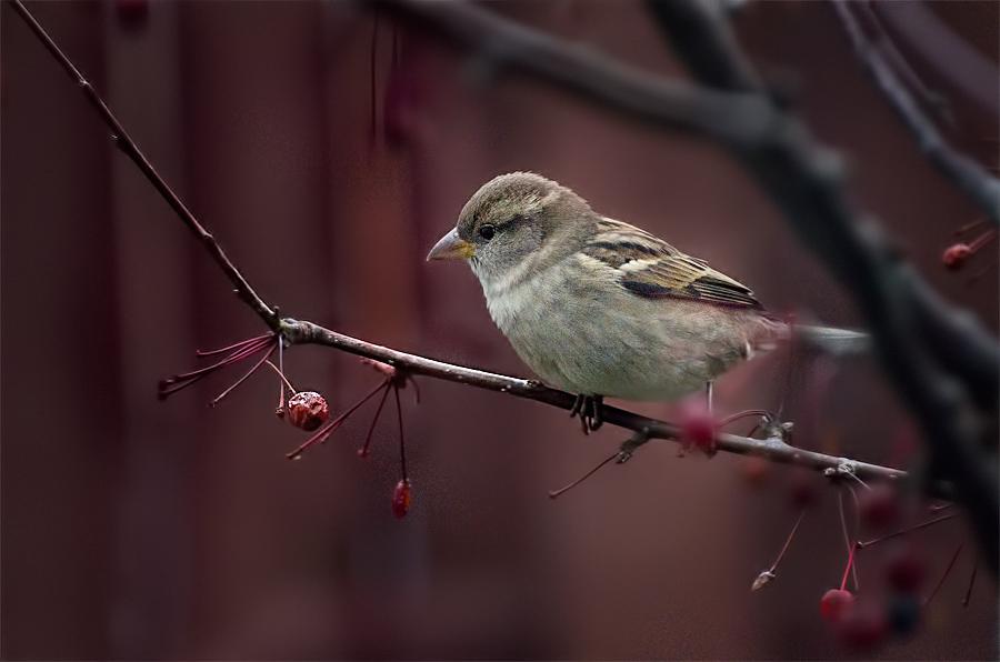 "фото ""Striped Sparrow"" метки: природа, дикие животные"