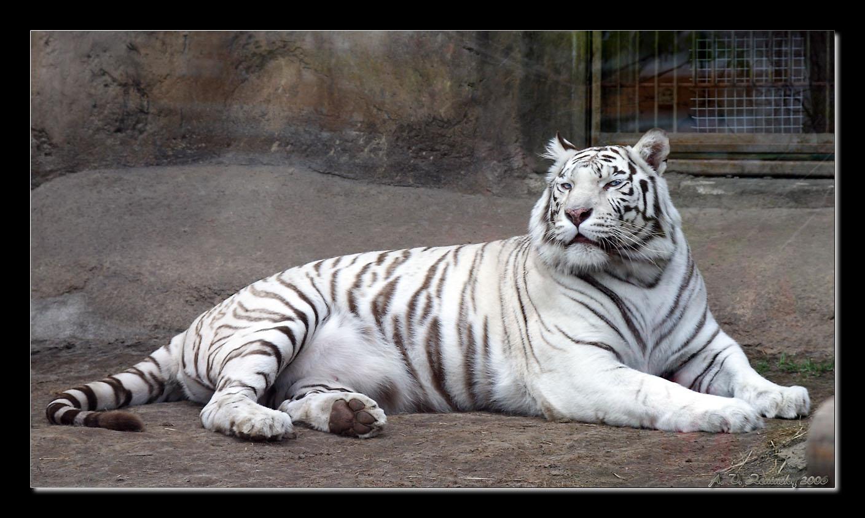 """фото """"Тигр!: """"Я слежу за тобой!"""" :)"""" метки: природа, юмор, дикие животные"""