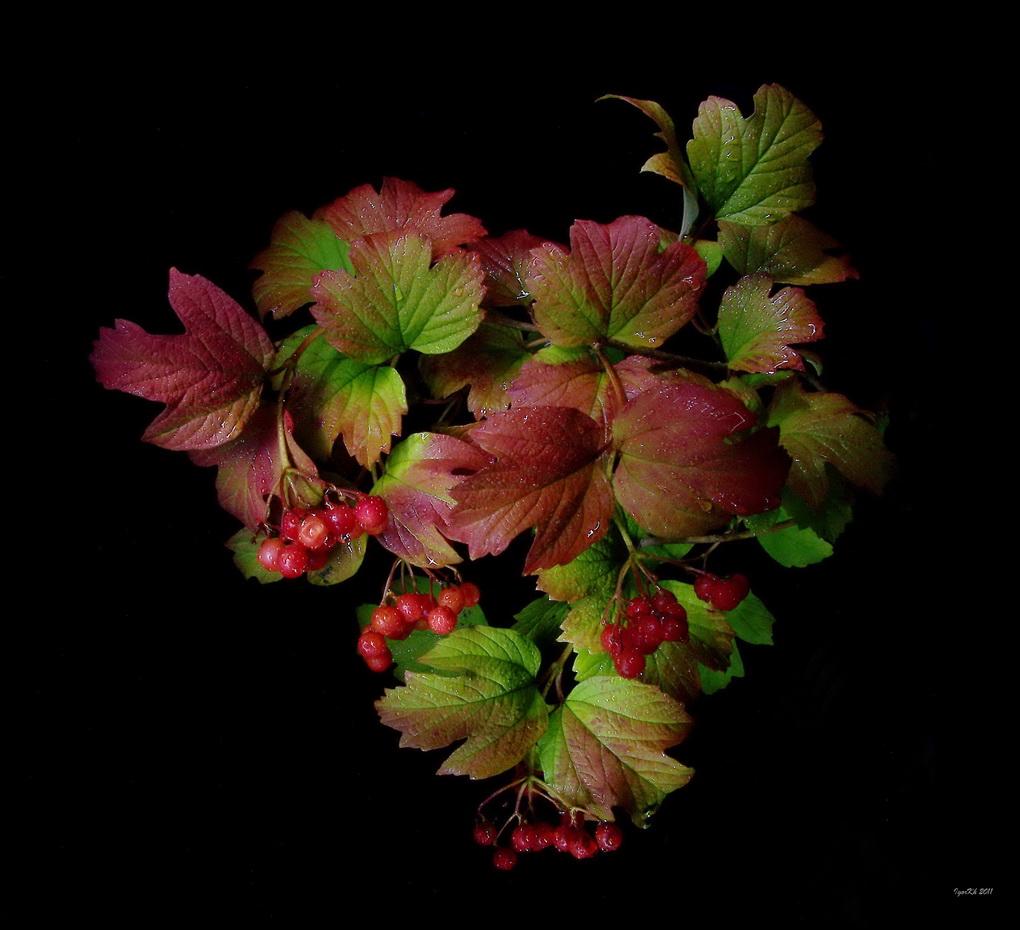 """фото """"Краски осени ( калина ) v.2"""" метки: природа, цветы"""