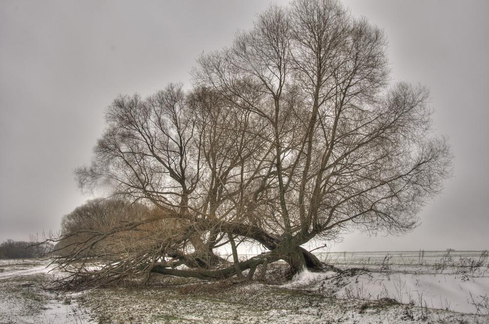 "фото ""Старая ветла"" метки: пейзаж, природа, зима"