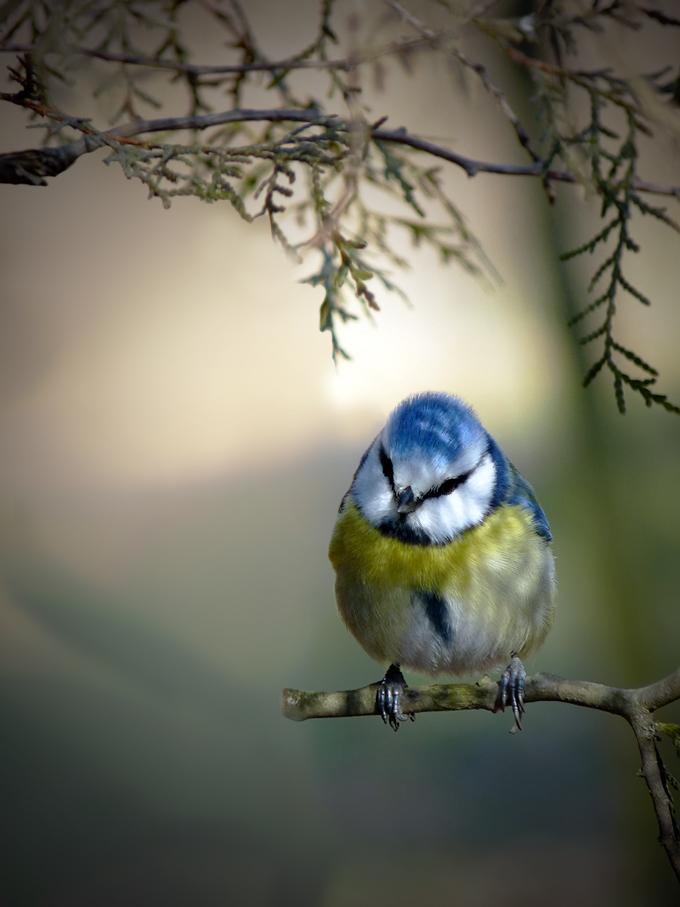 """фото """"Parus caeruleus - Лазоревка"""" метки: природа, дикие животные"""