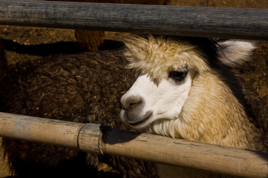 """фото """"Мицпе Рамон. Альпака с голубыми глазами."""" метки: природа, домашние животные"""