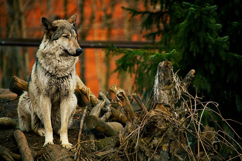 редких шикарные фото русских волков новую магнитолу