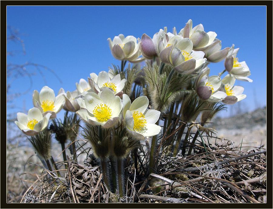 могу полевые цветы весенние север казахстана фото для кого