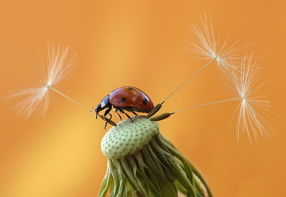 """фото """"Лесоруб"""" метки: макро и крупный план, природа, насекомое"""