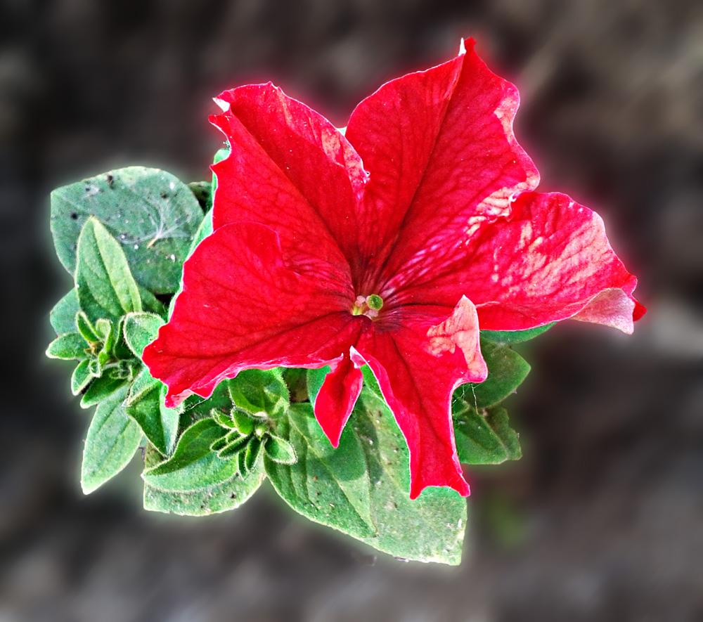 """фото """"Петунья"""" метки: природа, цветы"""