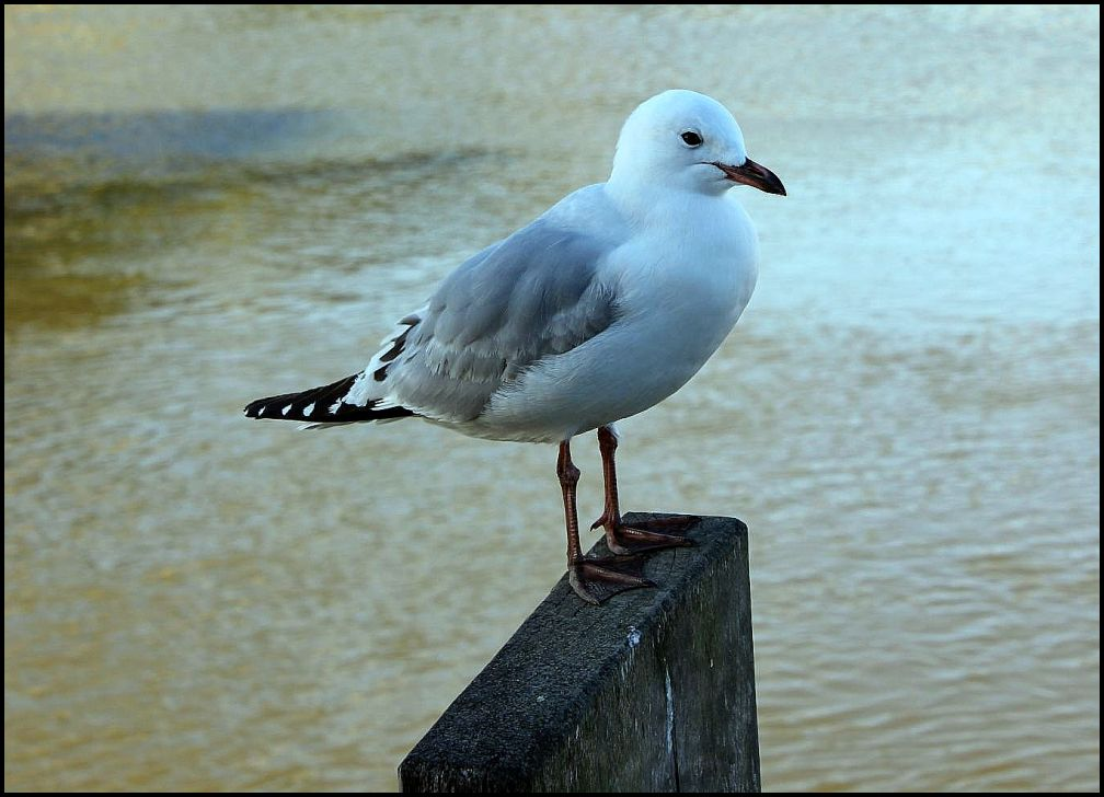 "photo ""Seagull"" tags: portrait, nature, wild animals"