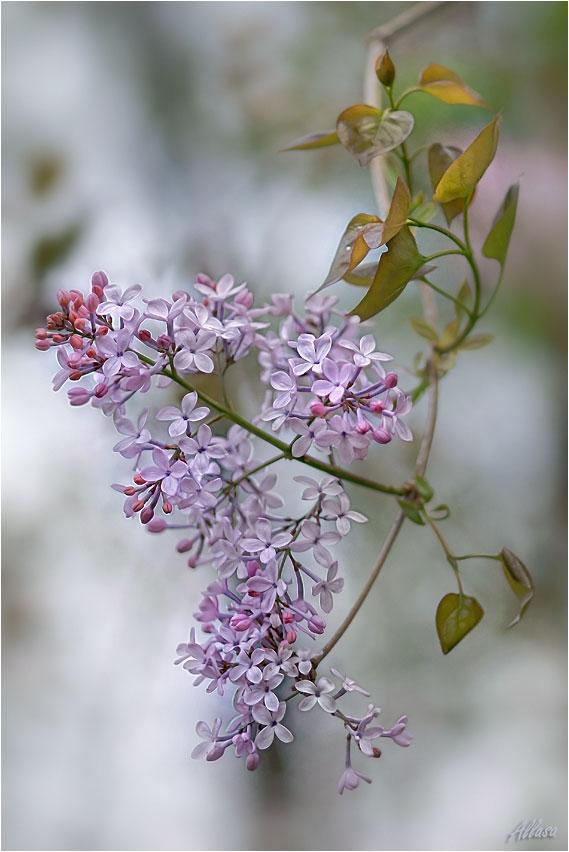 """фото """"Простая веточка сирени...неповторимым настроением тихонько светится душа."""" метки: природа, цветы"""