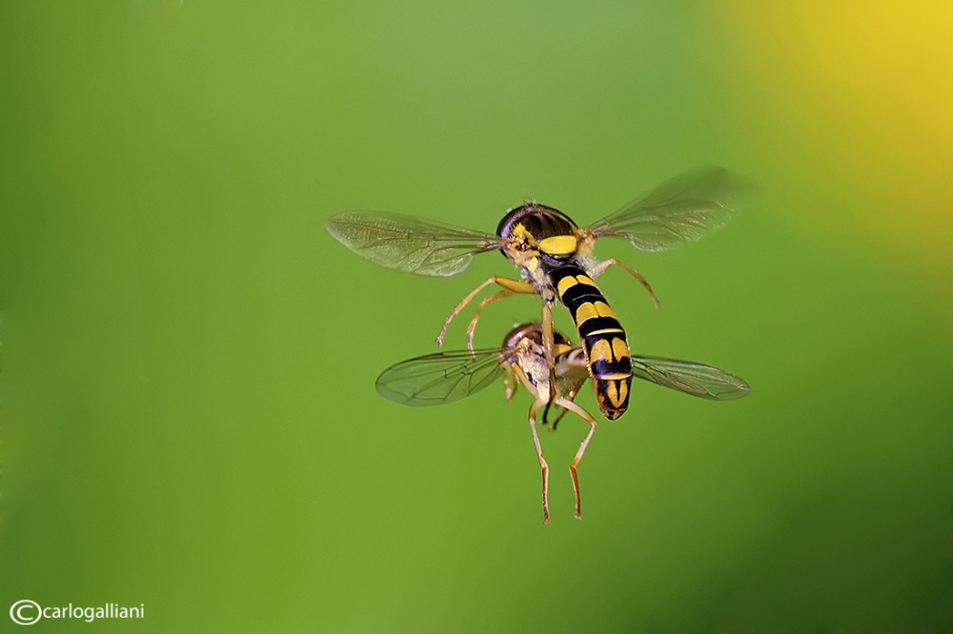 """photo """"Mating in flight"""" tags: nature, insect"""