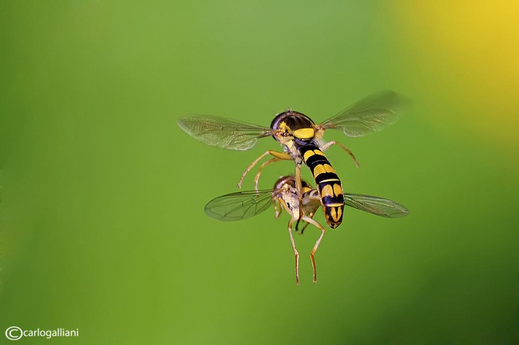 "фото ""Mating in flight"" метки: природа, насекомое"